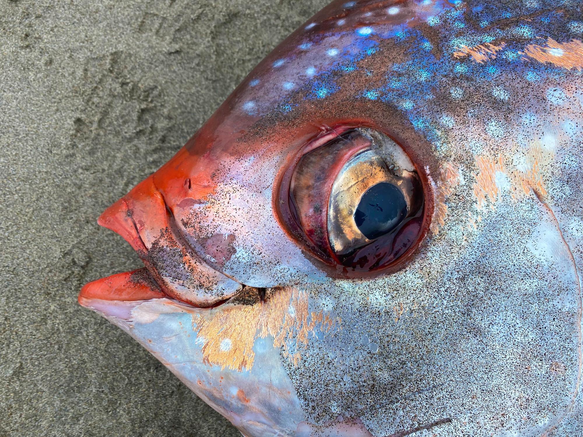 Cận cảnh chú cá mặt trăng khổng lồ dạt vào bờ biển tại Mỹ - Ảnh 5.