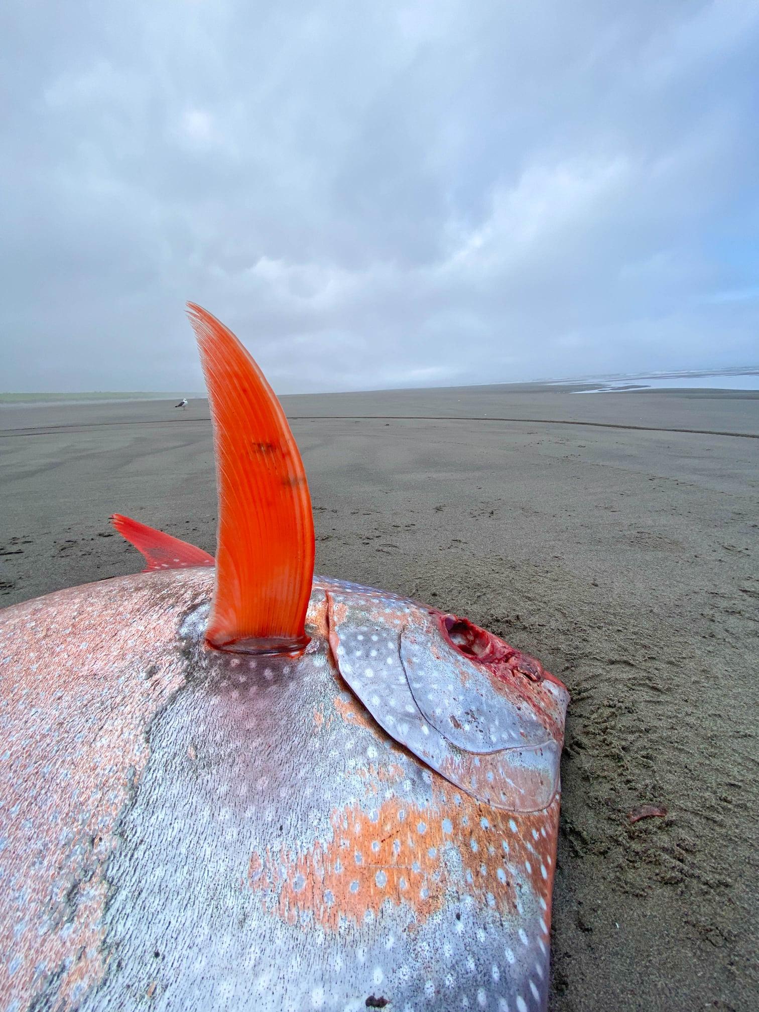 Cận cảnh chú cá mặt trăng khổng lồ dạt vào bờ biển tại Mỹ - Ảnh 4.