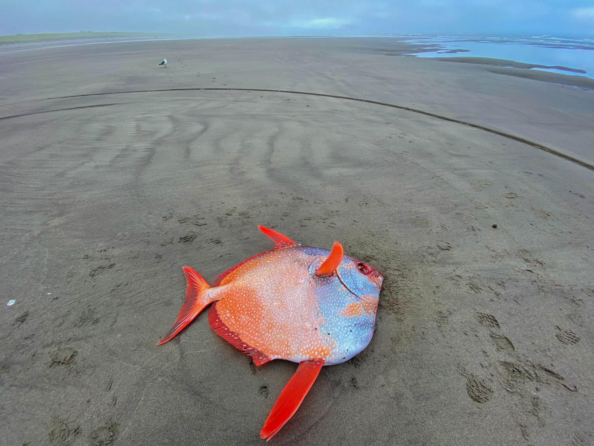 Cận cảnh chú cá mặt trăng khổng lồ dạt vào bờ biển tại Mỹ - Ảnh 1.