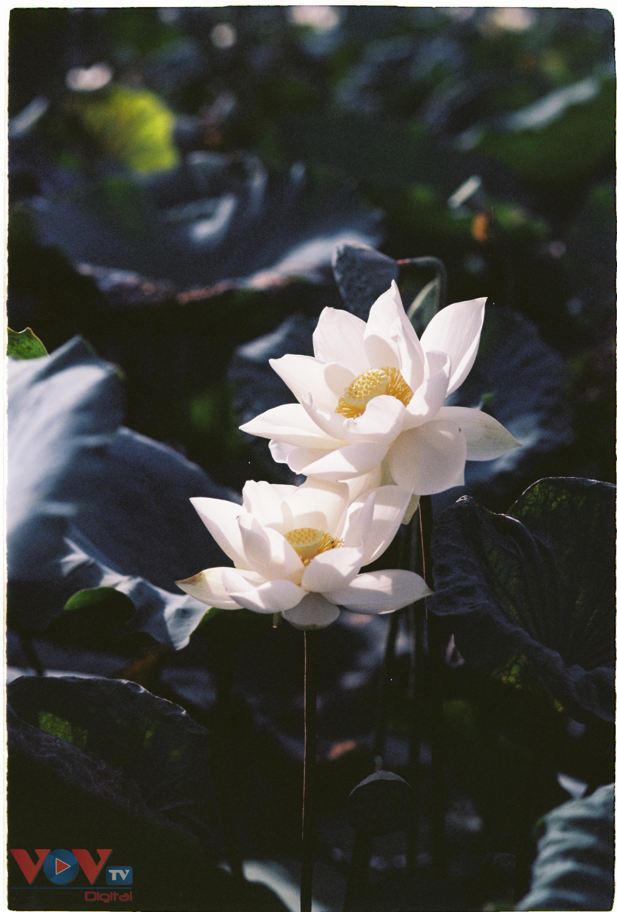 Tinh khôi mùa bạch liên hoa - Ảnh 2.