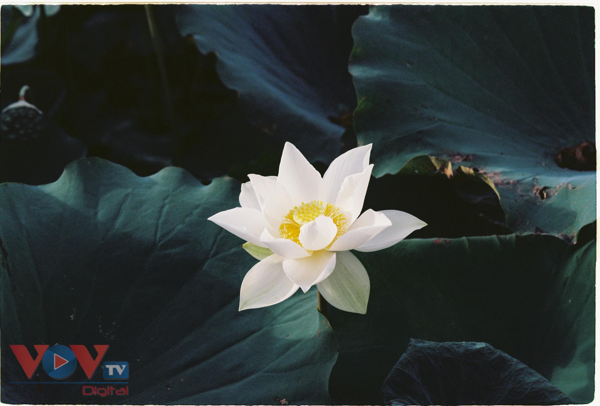 Tinh khôi mùa bạch liên hoa - Ảnh 5.