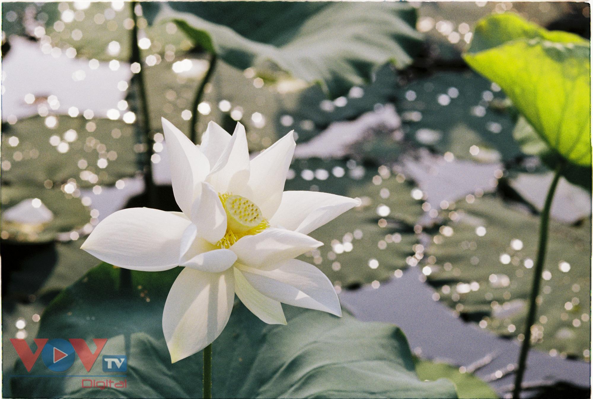Tinh khôi mùa bạch liên hoa - Ảnh 7.