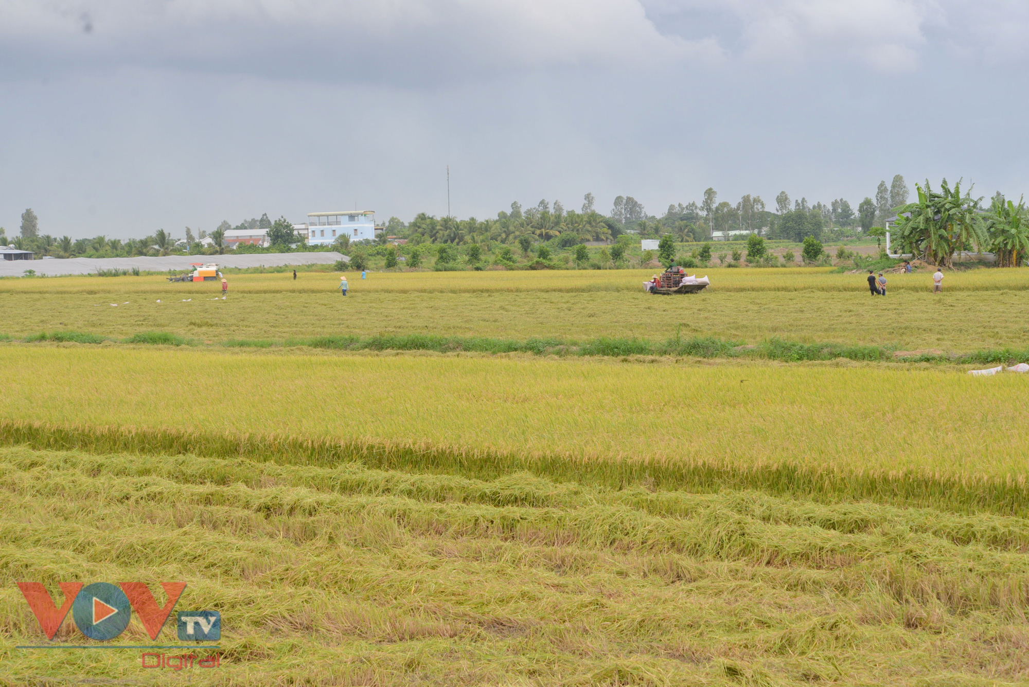Vừa vật lộn phòng chống dịch, vựa lúa miền Tây khó khăn tìm giải pháp tiêu thụ lúa gạo - Ảnh 1.