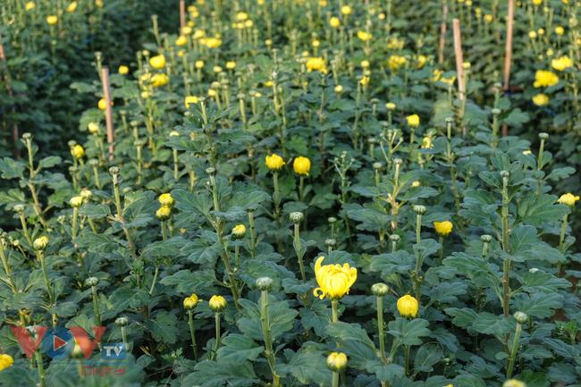 Thu hoạch cúc đại đóa ở vườn hoa Nhật Tân những ngày sát Tết - Ảnh 4.