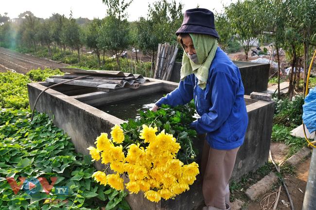 Thu hoạch cúc đại đóa ở vườn hoa Nhật Tân những ngày sát Tết - Ảnh 5.