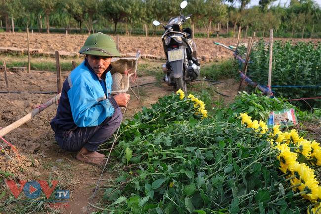 Thu hoạch cúc đại đóa ở vườn hoa Nhật Tân những ngày sát Tết - Ảnh 6.