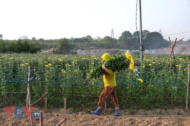 Thu hoạch cúc đại đóa ở vườn hoa Nhật Tân những ngày sát Tết - Ảnh 7.