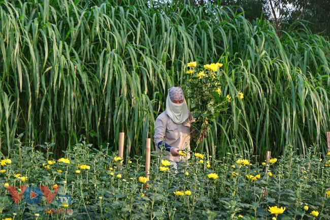 Thu hoạch cúc đại đóa ở vườn hoa Nhật Tân những ngày sát Tết - Ảnh 10.