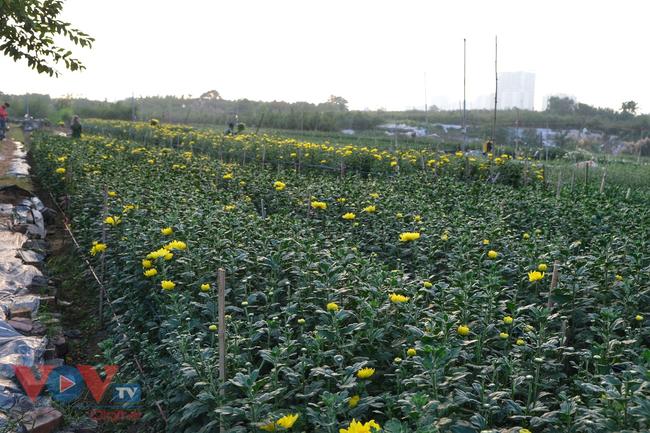 Thu hoạch cúc đại đóa ở vườn hoa Nhật Tân những ngày sát Tết - Ảnh 11.