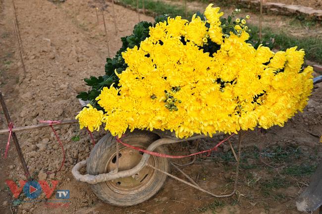 Thu hoạch cúc đại đóa ở vườn hoa Nhật Tân những ngày sát Tết - Ảnh 12.