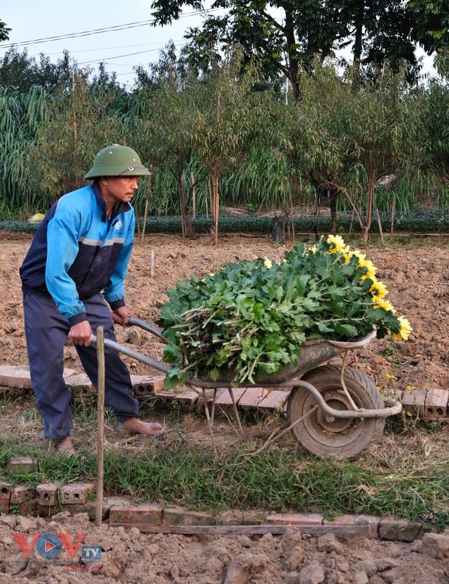 Thu hoạch cúc đại đóa ở vườn hoa Nhật Tân những ngày sát Tết - Ảnh 13.