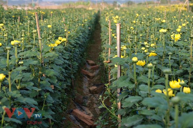 Thu hoạch cúc đại đóa ở vườn hoa Nhật Tân những ngày sát Tết - Ảnh 15.