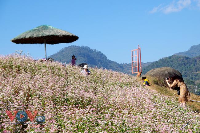 Hoa tam giác mạch - điểm check in hấp dẫn trên lưng đèo Giang Ma - Ảnh 1.