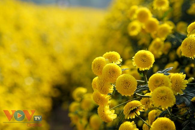 Làng Nghĩa Trai vào mùa thu hoạch hoa cúc chi - Ảnh 1.