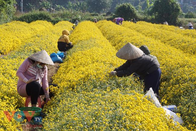 Làng Nghĩa Trai vào mùa thu hoạch hoa cúc chi - Ảnh 2.