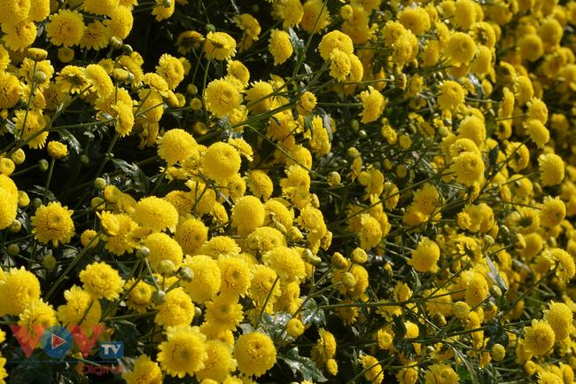 Làng Nghĩa Trai vào mùa thu hoạch hoa cúc chi - Ảnh 3.
