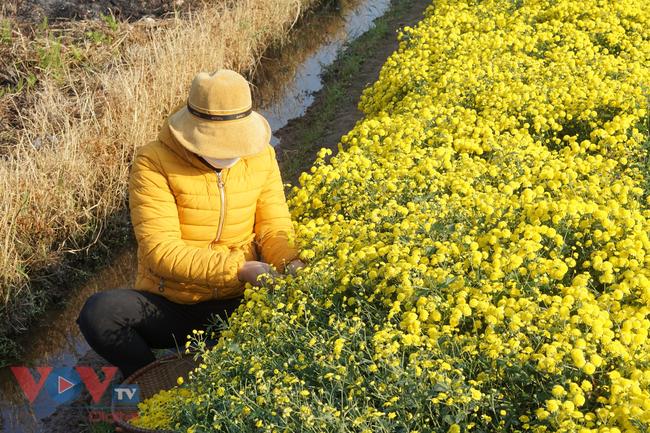 Làng Nghĩa Trai vào mùa thu hoạch hoa cúc chi - Ảnh 4.