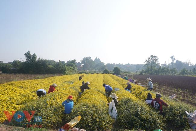 Làng Nghĩa Trai vào mùa thu hoạch hoa cúc chi - Ảnh 5.