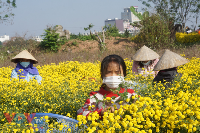 Làng Nghĩa Trai vào mùa thu hoạch hoa cúc chi - Ảnh 6.