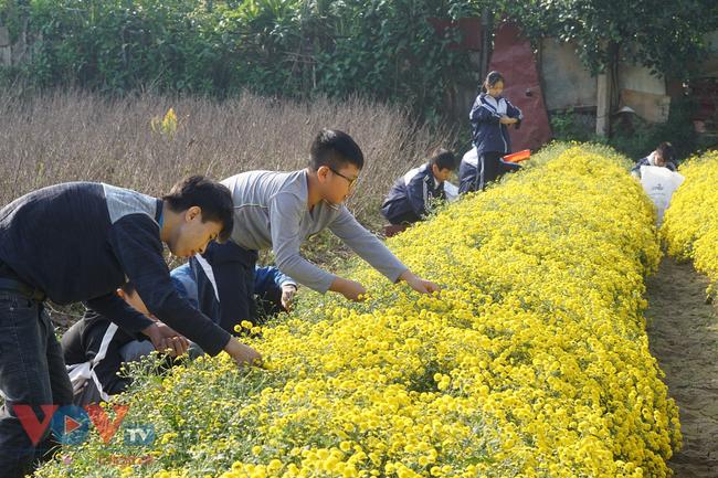 Làng Nghĩa Trai vào mùa thu hoạch hoa cúc chi - Ảnh 7.