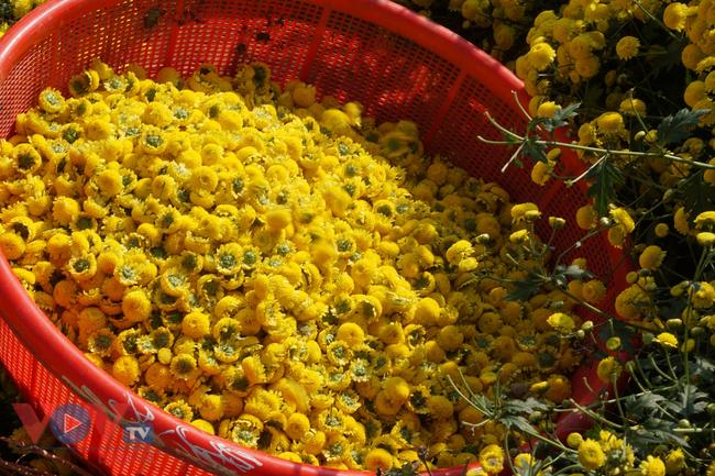 Làng Nghĩa Trai vào mùa thu hoạch hoa cúc chi - Ảnh 8.
