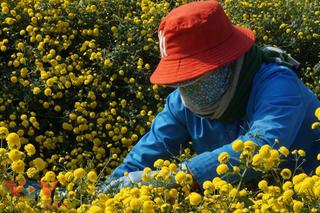 Làng Nghĩa Trai vào mùa thu hoạch hoa cúc chi - Ảnh 9.