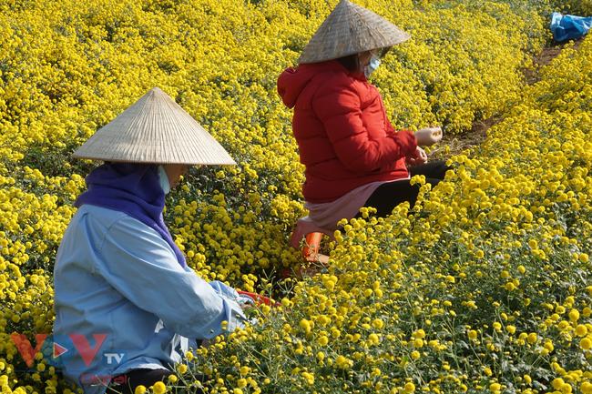 Làng Nghĩa Trai vào mùa thu hoạch hoa cúc chi - Ảnh 10.