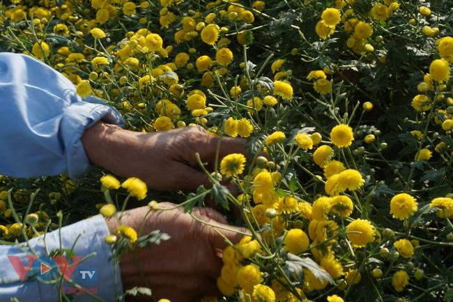 Làng Nghĩa Trai vào mùa thu hoạch hoa cúc chi - Ảnh 11.