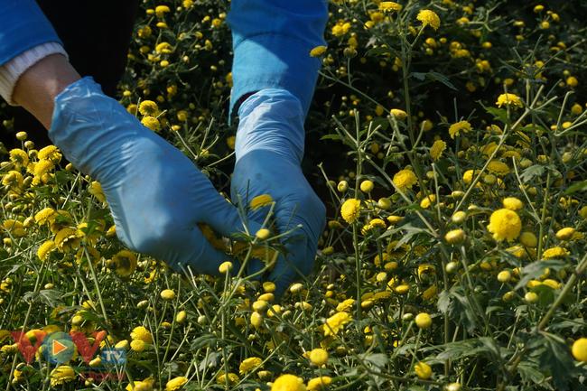 Làng Nghĩa Trai vào mùa thu hoạch hoa cúc chi - Ảnh 12.