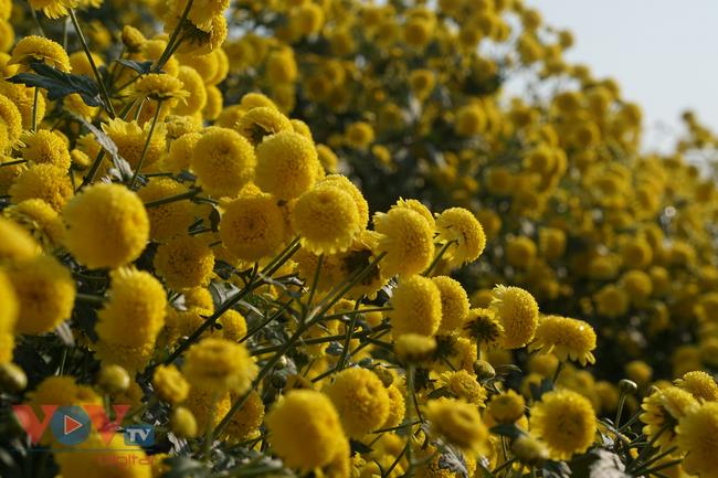 Làng Nghĩa Trai vào mùa thu hoạch hoa cúc chi - Ảnh 13.