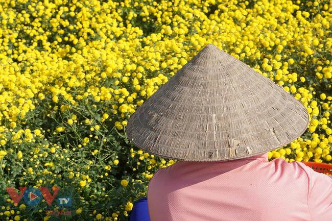 Làng Nghĩa Trai vào mùa thu hoạch hoa cúc chi - Ảnh 14.