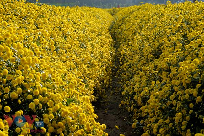 Làng Nghĩa Trai vào mùa thu hoạch hoa cúc chi - Ảnh 15.