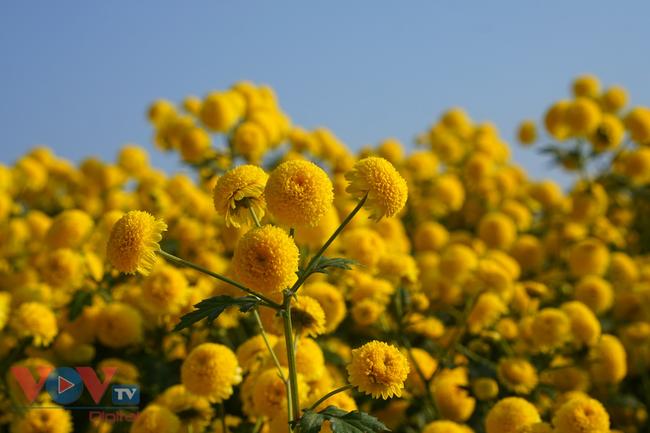 Làng Nghĩa Trai vào mùa thu hoạch hoa cúc chi - Ảnh 19.