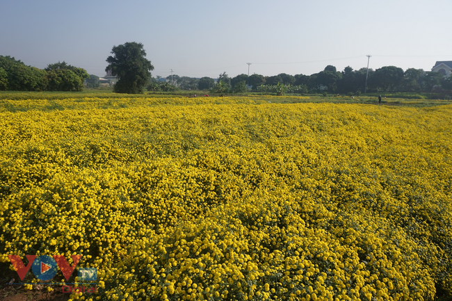 Làng Nghĩa Trai vào mùa thu hoạch hoa cúc chi - Ảnh 20.