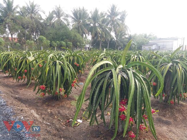 Tiền Giang: Nhà vườn 'méo mặt' vì nhiều loại trái cây rớt giá - Ảnh 3.