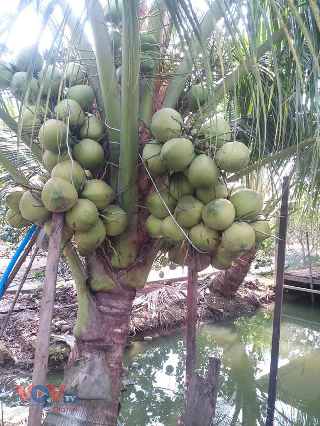 Tiền Giang: Nhà vườn 'méo mặt' vì nhiều loại trái cây rớt giá - Ảnh 2.