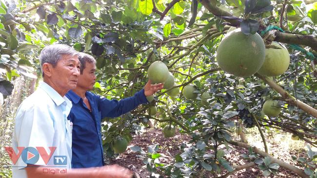 Tiền Giang: Nhà vườn 'méo mặt' vì nhiều loại trái cây rớt giá - Ảnh 1.