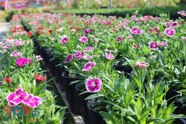 Làng hoa hơn 100 tuổi Sa Đéc tất bật vụ hoa Tết - Ảnh 5.