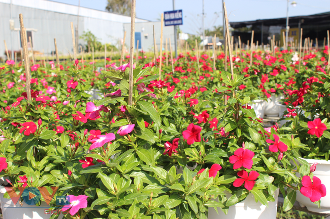 Làng hoa hơn 100 tuổi Sa Đéc tất bật vụ hoa Tết - Ảnh 10.