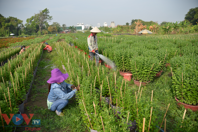 Chùm ảnh: Làng hoa ngoại ô TPHCM tất bật vụ hoa Tết Tân Sửu 2021 - Ảnh 1.