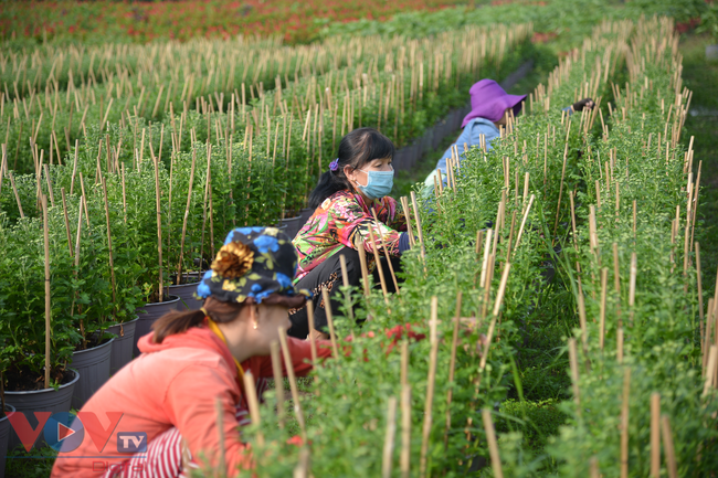 Chùm ảnh: Làng hoa ngoại ô TPHCM tất bật vụ hoa Tết Tân Sửu 2021 - Ảnh 2.