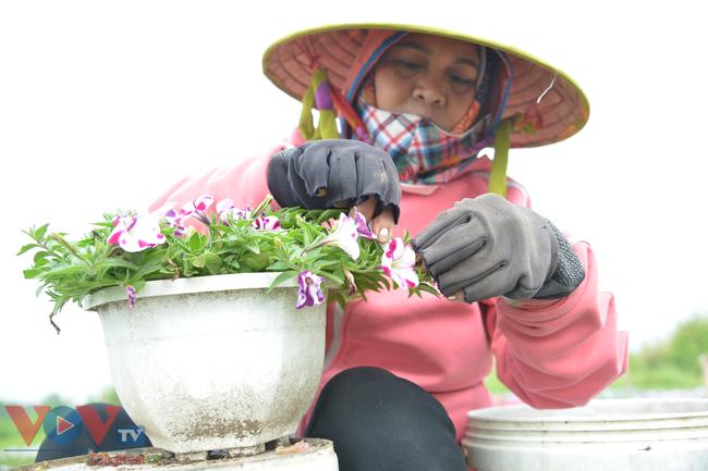 Chùm ảnh: Làng hoa ngoại ô TPHCM tất bật vụ hoa Tết Tân Sửu 2021 - Ảnh 3.