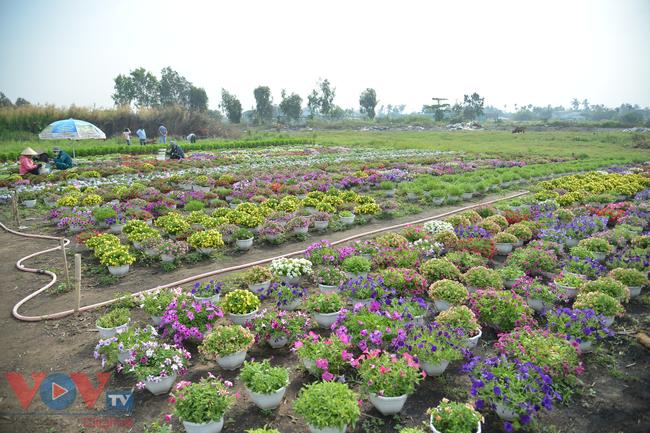 Chùm ảnh: Làng hoa ngoại ô TPHCM tất bật vụ hoa Tết Tân Sửu 2021 - Ảnh 4.