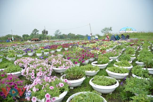 Chùm ảnh: Làng hoa ngoại ô TPHCM tất bật vụ hoa Tết Tân Sửu 2021 - Ảnh 5.