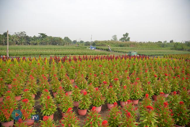 Chùm ảnh: Làng hoa ngoại ô TPHCM tất bật vụ hoa Tết Tân Sửu 2021 - Ảnh 9.