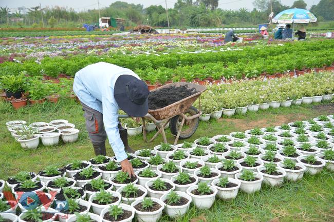 Chùm ảnh: Làng hoa ngoại ô TPHCM tất bật vụ hoa Tết Tân Sửu 2021 - Ảnh 10.