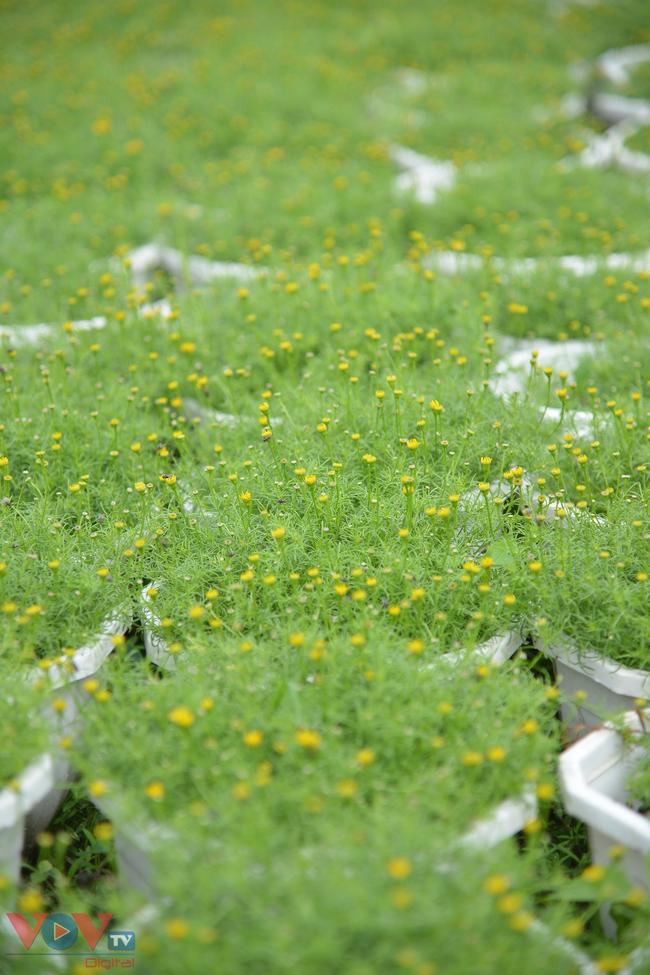 Chùm ảnh: Làng hoa ngoại ô TPHCM tất bật vụ hoa Tết Tân Sửu 2021 - Ảnh 11.