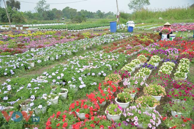 Chùm ảnh: Làng hoa ngoại ô TPHCM tất bật vụ hoa Tết Tân Sửu 2021 - Ảnh 12.