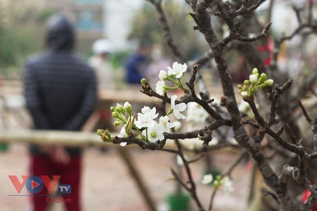 Hoa lê rừng đổ bộ xuống phố phục vụ người dân Thủ đô chơi Xuân - Ảnh 6.