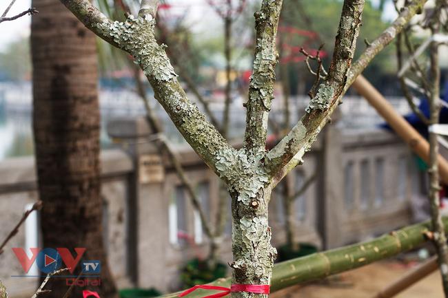Hoa lê rừng đổ bộ xuống phố phục vụ người dân Thủ đô chơi Xuân - Ảnh 7.